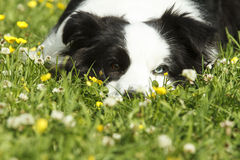 Border Collie lying in a meadow stock photography