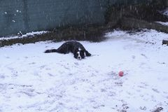 Border collie lying in the snow stock image
