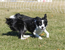 Border collie making a a funny face while playing Royalty Free Stock Images