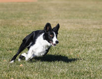 Border collie making a tight turn while running Stock Photos