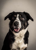 Border collie man Royaltyfria Bilder