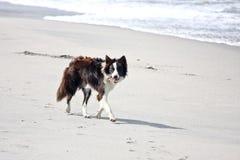 Border collie marchant sur une plage blanche dans Inisheer, Irlande Photographie stock libre de droits