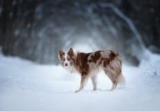 Border collie med den mörka vinterskogen bakom Royaltyfri Foto