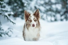 Border collie med vinterståenden för blåa ögon Royaltyfria Foton