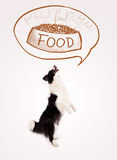 Border collie mignon rêvant de la nourriture Photo libre de droits