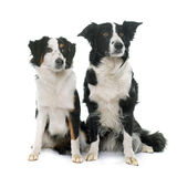 Border collie and miniature australian shepherd. In studio stock image