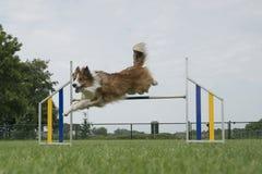 Border collie mischte den Hund, der über einen einzelnen Sprung springt stockfoto
