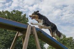 Border collie mischte den Hund, der über den Hundeweg läuft stockbild