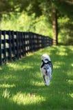 Border collie-Mischungszucht-Hundelaufende Außenseite stockfotos