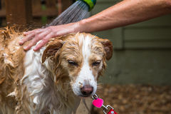 Border collie mix being rinsed royalty free stock photo