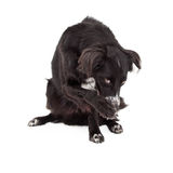 Border Collie Mix Breed Dog Looking Guilty Stock Photo