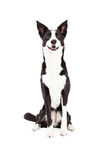 Border Collie Mix Breed Dog Sitting. An attentive Border Collie Mix Breed Dog sitting while looking forward Stock Images