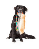 Border Collie Mix Breed Dog With Toy In Mouth. A Border Collie Mix Breed Dog holds a large furry toy in its mouth while sitting and looking forward Stock Photo