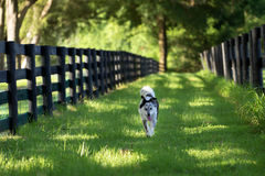 Border Collie mix dog running outside along fence Stock Photography