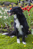 Border Collie mix in front of tulips. A female cross between Border Collie and Bernese Mountaindog sitting in the grass in front of orange and red tulips Royalty Free Stock Photography