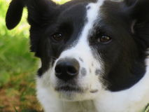 Border Collie mix sniffing the air. Royalty Free Stock Image