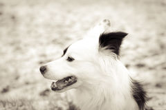 Border collie mix 49. Winter with snow Royalty Free Stock Image
