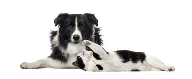 Border Collie, Mixed breed cat, in front of white background. Isolated on white royalty free stock photography