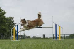 Border collie mixed dog jumping over a single jump stock photo