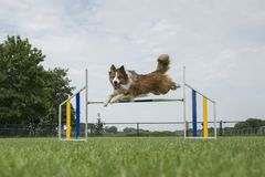 Border collie mixed dog jumping over a single jump while looking at the camera stock images