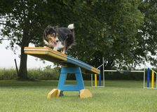 Border collie mixed dog running over the see-saw stock photography