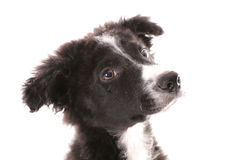 Border collie 3 months Stock Photos