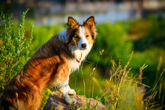 Border collie in the morning light, portrait Stock Images