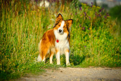 Border collie in the morning light, portrait Stock Photography