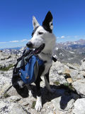 Border Collie in the Mountains Stock Photography