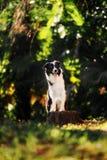 Border collie negro lindo en bosque del verano imagen de archivo libre de regalías