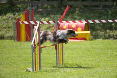 Border collie no curso da agilidade, sobre o salto Imagens de Stock Royalty Free