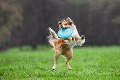 Border collie no frisbee do cão Imagens de Stock