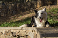 Border collie no parque foto de stock royalty free