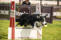 Border collie no schampionship Praga do flyball fotografia de stock