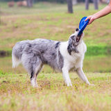 Border Collie not willing to let go the frisbee Stock Images