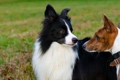Border collie och basenji Harmoniskt förhållande med hunden: utbildning och utbildning royaltyfria foton