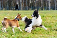 Border collie och basenji Harmoniskt förhållande med hunden: utbildning och utbildning royaltyfri bild