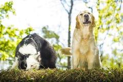 Border collie och golden retriever i busken Arkivfoto