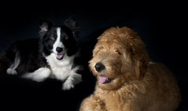 Border collie och Labradoodle Royaltyfri Foto