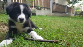 Border collie play outside royalty free stock photos