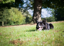 Border Collie Outside. Border Collie laying down on the grass outside stock image