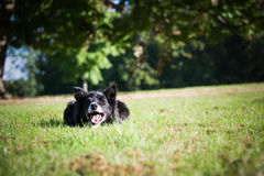 Border Collie Outside. Border Collie laying down on the grass outside royalty free stock images