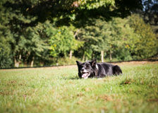Border Collie Outside. Border Collie laying down on the grass outside royalty free stock image