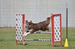 Border collie på ett hundvighetförsök Arkivbilder