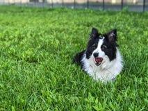 Border collie på gräset Royaltyfria Bilder