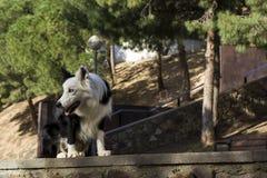 Border collie på stenväggen i parkera Arkivbild