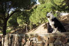 Border collie på stenväggen i parkera Royaltyfri Foto