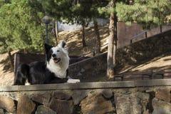Border collie på stenväggen i parkera Arkivfoto