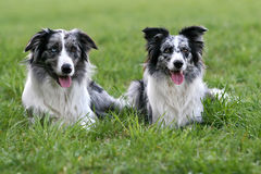 Border collie pair Stock Image