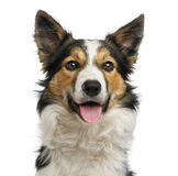Border collie panting, facing, isolated on white Royalty Free Stock Photos